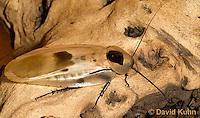 0105-0903  Giant Cave Cockroach, Adult, Blaberus giganteus  © David Kuhn/Dwight Kuhn Photography