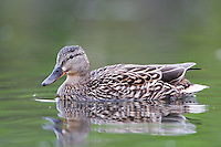 Mallard hen swimming on a pond on a cloudy morning