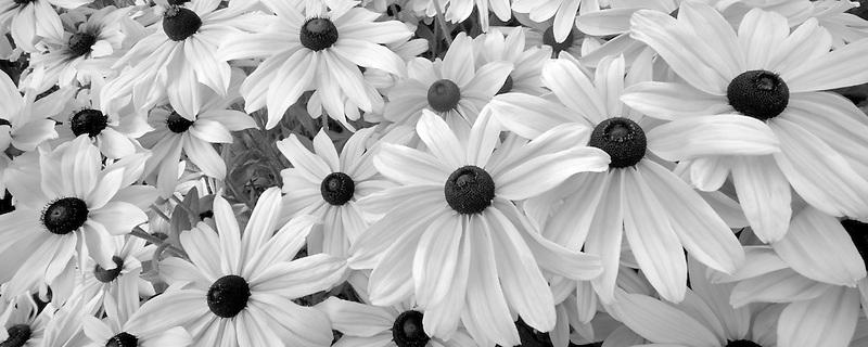 Black eyed Susan flowers. Oregon Gardens, Oregon