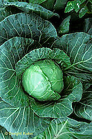 HS37-001a  Cabbage - Primax variety