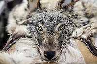 A wolf skin at the Sakha Bult sorting facility in Yakutsk. Suitable skins will be used for clothing and rugs.