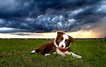 A storm front moves in as the border collie puppy, Piper, lays in the grass at Shell Point Beach along the Forgotten Coast of the north Florida panhandle.
