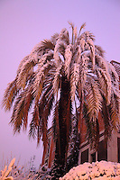 Rome, Pigneto: A palm tree covered by snow in the quarter of Pigneto, near to the Casilina road.  The photo is taken in the early morning, after a snowing night, and the approaching sunrise gives a rose-colored shade (February 2012).