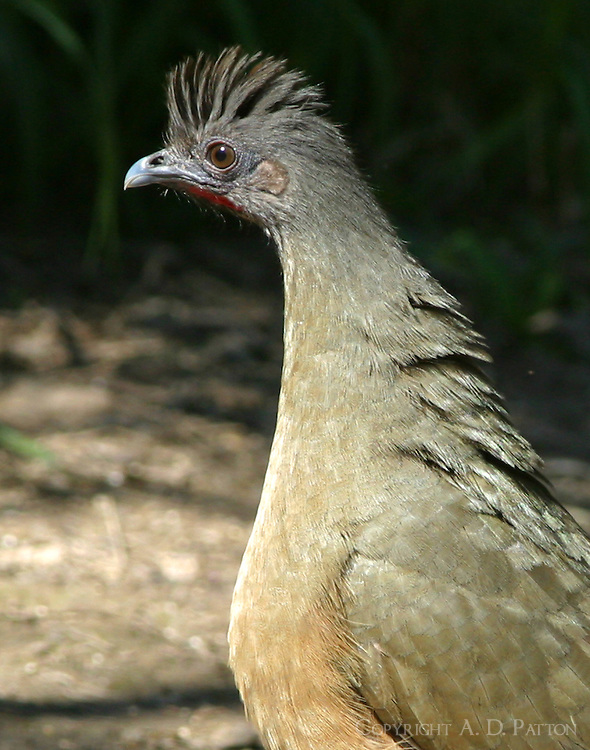 Adult male plain chachalaca with crest raised, head-and-shoulders view