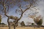 "Israel, Negev. The ""Pretzel Tree"" shaped by Aharon Naveh at Kibbutz Revivim"
