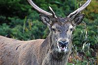 Rothirsch - Red Deer