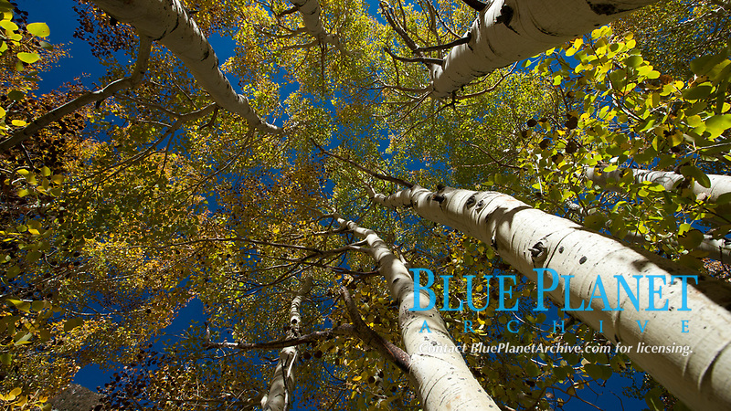 Aspen trees, with leaves changing from green to yellow in autumn, branches stretching skyward, a forest.