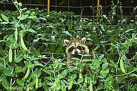 MA25-163z  Raccoon - young raccoon exploring in garden near pea plants - Procyon lotor