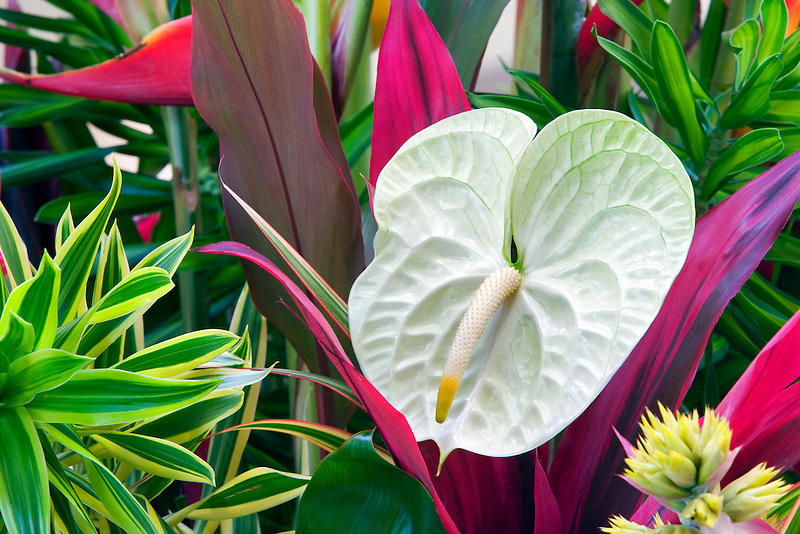 Tropical flower arrangement. Anthurium flowers and tropical foliage. Kauai, Hawaii