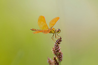 304570024 a wild male mexican amberwing perithemis intensa perches on a flower stem along the edge of roper lake in roper lake state park cochise county arizona