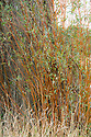 New, orange stems of White willow (Salix alba), early September.