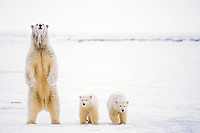 polar bear, Ursus maritimus, mother with cubs stands to assess any danger on the pack ice, 1002 coastal plain of the Arctic National Wildlife Refuge, Alaska, polar bear, Ursus maritimus
