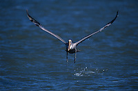 Brown Pelican, Pelecanus occidentalis,adult taking off, Sanibel Island, Florida, USA