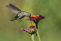 Black-chinned Hummer female, makin' the rounds.<br /> The last of the hummingbirds will be heading south soon (Sept-Oct), and the 'pickings' are getting thin..