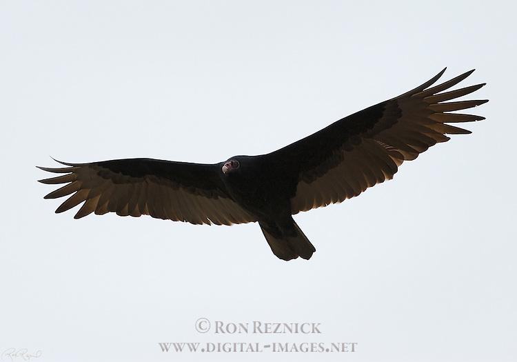Turkey Vulture, Cathartes aura, Bolsa Chica Wildlife Refuge, Southern California