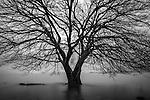 Japanese alder (Alnus japonica), Lake Biwa, Honshu, Japan