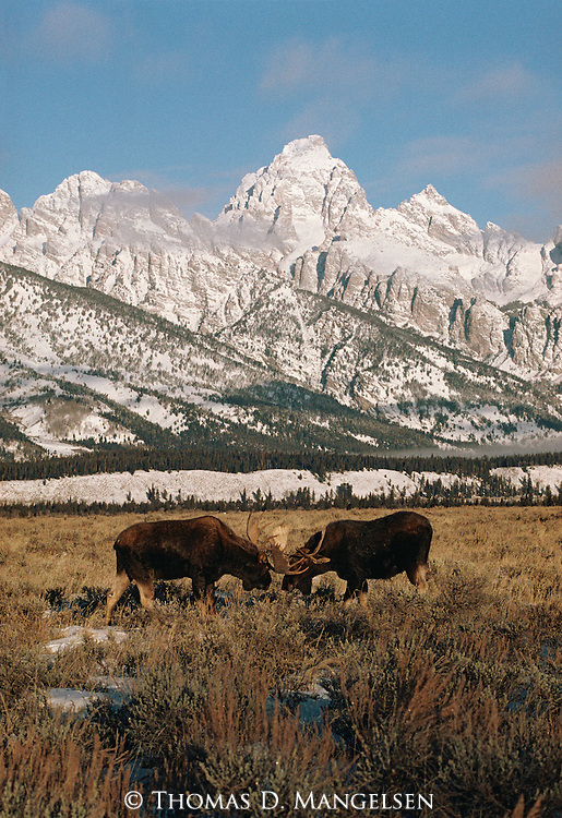 Two bull moose fight below the Tetons in Grand Teton National Park, Wyoming.
