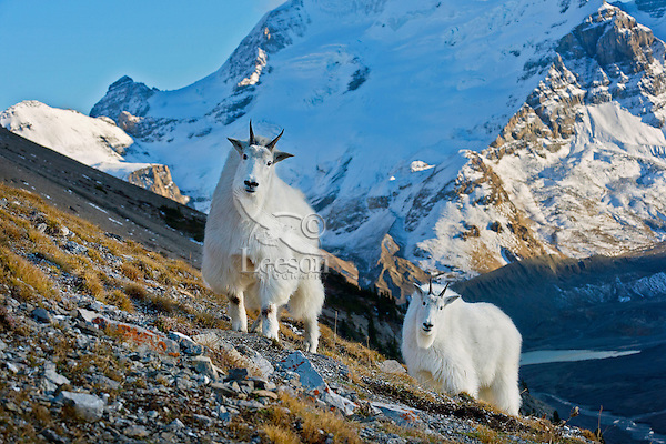 Mountain goats (Oreamnos americanus)  high above the Icefields Parkway in Jasper National Park with meltwater from the Athabasca Glacier in the lake below (headwaters of the Athabasca River.)  October.