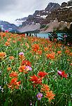 Paintbrush, Bow Valley, Banff National Park, Alberta, Canada