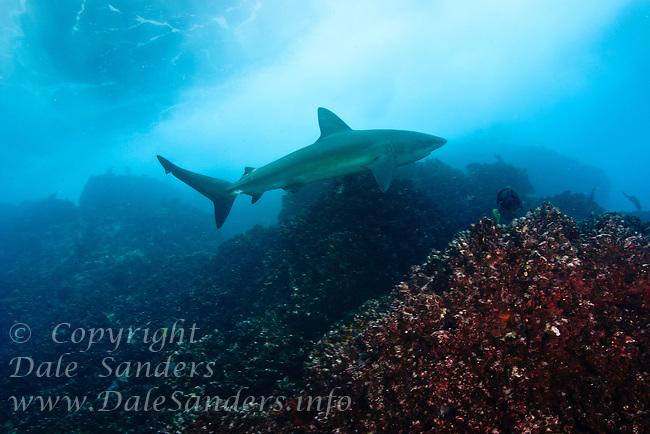 Galapagos Shark (Carcharhinus galapagensis) swims underwater off the Galapagos Islands of Ecuador.
