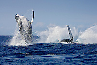 Humpback whales (Megaptera novaeangliae) double breaching in competitive group near Hawai'i