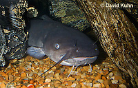1123-1004  White Catfish (White Bullhead) Resting Under Log, Ameiurus catus (syn. Ictalurus catus)  © David Kuhn/Dwight Kuhn Photography