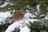 Heckenbraunelle, im Winter bei Schnee, Hecken-Braunelle, Prunella modularis, Dunnock, hedge accentor, hedge sparrow, hedge warbler, L'Accenteur mouchet