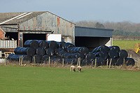 29-1-2021 Bales of wrapped silage in a farmyard <br /> ©Tim Scrivener Photographer 07850 303986<br />      ....Covering Agriculture In The UK....
