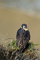 527950047 a wild federally endangered juvenile peregrine falcon falco peregrinus perches on a cliff face along the pacific ocean at torrey pines state preserve la jolla california