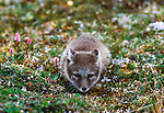 Arctic fox, Arctic National Wildlife Refuge, Alaska