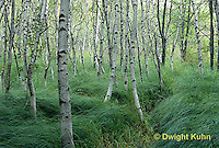 TT14-001z  Acadia National Park, Maine - grasses, white birch (Betula spp) on hiking path