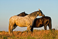 Horse, Horses, Cowboys, Cowgirls, Grey Mare, Bay Gelding, Ranching, Cattle, Horses Eyes, Sunset, Sunrise, Lakes, Spurs, Mane, Tails, Black & White, Images, Pictures, Cowboy and Cowgirl, Stock Images, Art, Artwork, Photography, Images, Pictures, Metal Prints, Fine Art Prints, Photo, Photos, Photographs, Horses Fighting, Mustangs, Wild Horses, Best Horse Photos, Best Horse Pictures, Ranches, Ranch, Farm, Windmills, Barns, Bucking Horse, Dusk, Dawn