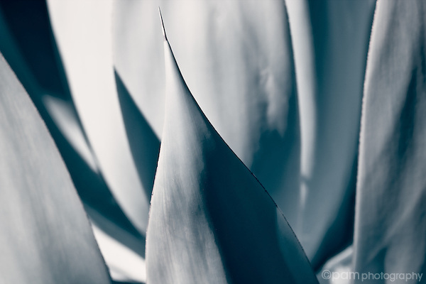Black and white abstract of agave spines.  Taken in infrared.