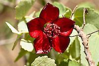 A close-up of the rare ko'oloa'ula plant in 'Ewa on O'ahu.