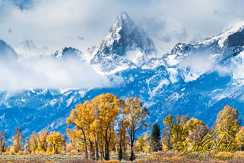 Golden cottonwoods and the snowcapped jagged peaks of the Grand Tetons in Jackson Hole