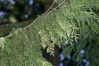Nutka-Scheinzypresse, Nootka-Scheinzypresse, Alaska-Zeder, Alaskazeder, Xanthocyparis nootkatensis, Chamaecyparis nootkatensis, Cupressus nootkatensis, Nootka cypress, yellow cypress, Alaska cypress, Nootka cedar, yellow cedar, Alaska cedar, Alaska yellow cedar, Le cyprès de Nootka, cyprès de Nutka, faux-cyprès de Nootka
