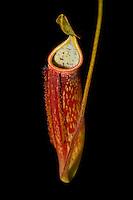 Nepenthes x morganiana