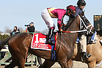 2011 04 09: Hot Summer and Luis Saez in paddock for the Grade 3 at 1 mile at Aqueduct Racetrack. Trainer David Fawkes. Owner Harold L. Queen