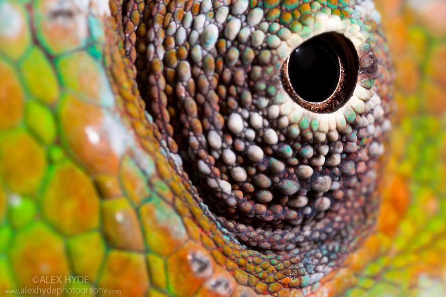 Panther Chameleon {Furcifer pardalis} close-up of eye. Masoala Peninsula National Park, north east Madagascar.