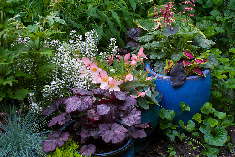 Container gardens pots, Festuca blue grass, blue pots, Alyssum Lobularia, purple Heuchera Grape Expectations, yellow Sedum, Coleus, Begonia in flower, blue ceramic pots