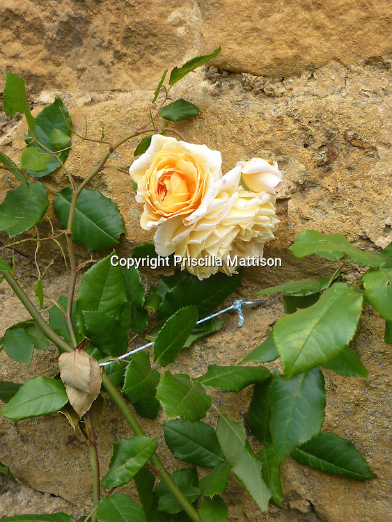 Closeup of an apricot-colored rose