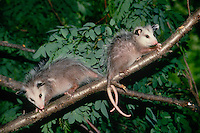two baby possums, Didelphis marsupialis, on a tree branch in June, Missouri