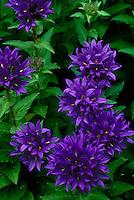 Rich Purple Bellflowers, Campanula Glomerata Superba, Missouri