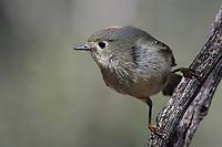 Ruby-crowned Kinglet, Fort Davis State Park