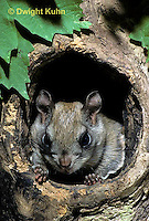 MA29-026z  Flying Squirrel - in a nest cavity - Glaucomys sabrinus.