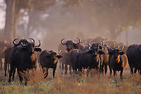 Cape Buffalo or African Buffalo herd in curious yet protective stance.