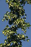 Close-up of hops in Yakima, Washington.