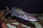 barracuda full body view facing right