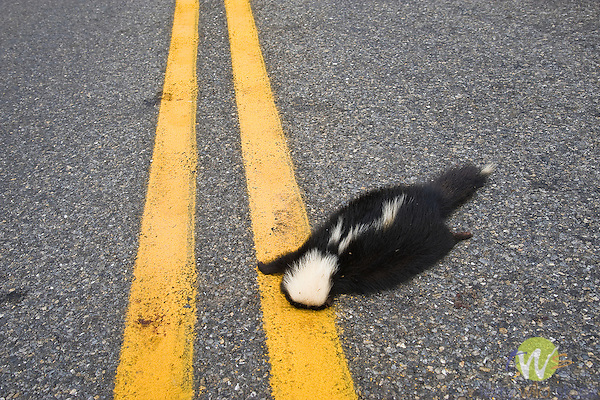 Dead skunk in the middle of the road.
