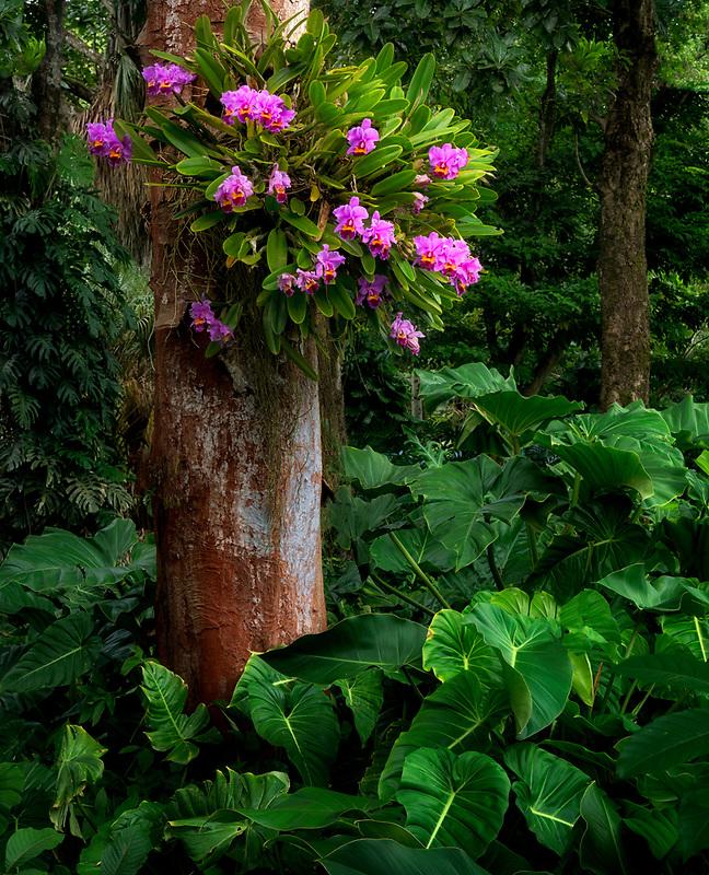 Orchid on tree. Hoomaluhia Botanical Gardens